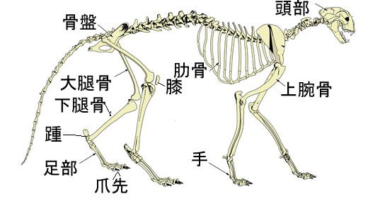 Cheetah___Anatomy_by_Lioness_Nalaのコピー.jpg