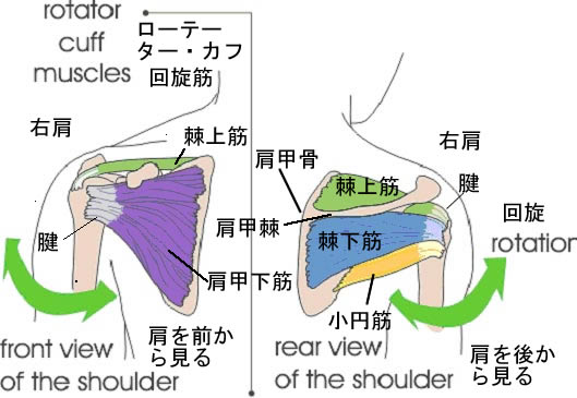 Rupture-of-The-Rotator-Cuff2.jpg