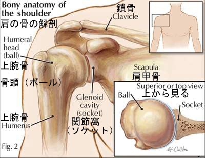bony anatomy of the shoulder2.jpg