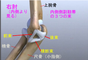 elbow medial collateral ligament.jpg